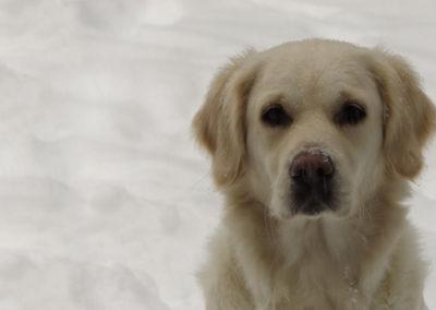 Lillie Snow Background – English Cream Golden retriever