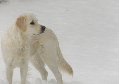 Lillie Snow field – White English Cream Golden Retriever