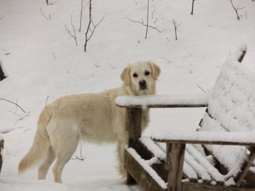 Lillie Snow Chair – White English Cream Golden Retriever