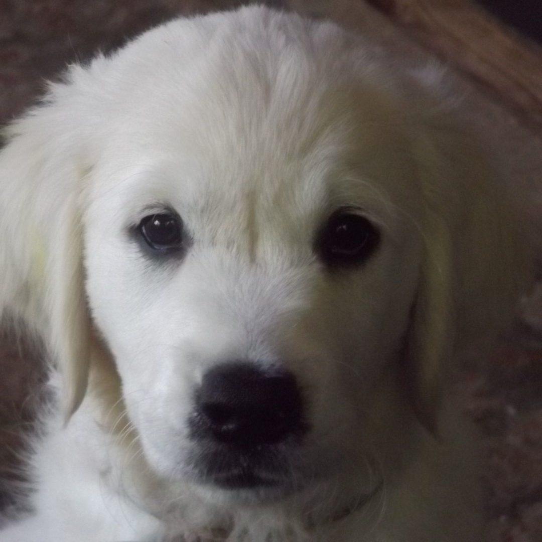 Nanna as a puppy - White English Cream Golden Retriever