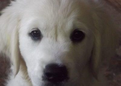 Nanna as a puppy – White English Cream Golden Retriever