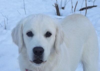 Nanna in the Snow – White English Cream Golden Retriever