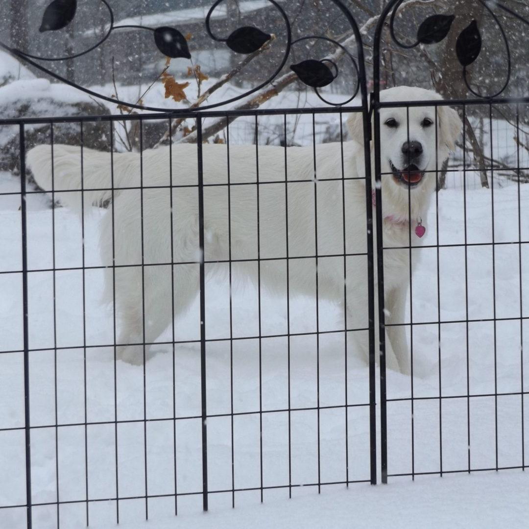 Nanna behind the Fence - White English Cream Golden Retriever