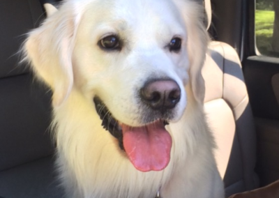 Finley in the car – White English Cream Golden Retriever