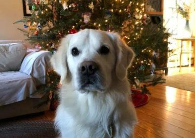 Finley Christmas Tree – White English Cream Golden Retriever