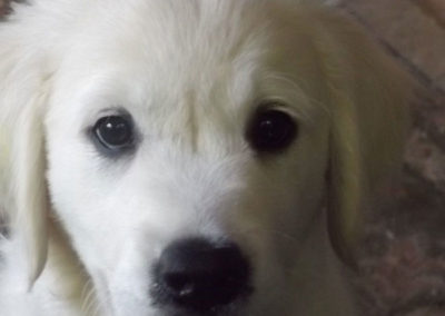 English Cream White Golden Retriever Puppies – What a face!