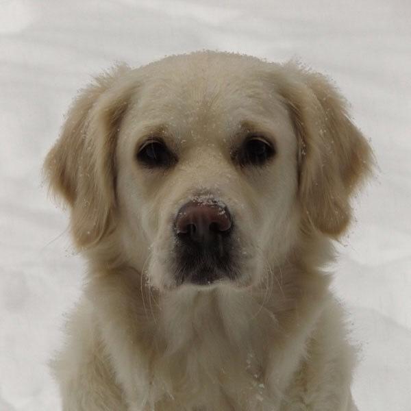 #Lillie our English Cream White Golden