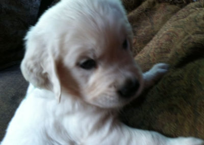 English Cream White Golden Retriever Puppies 4