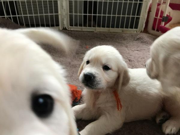 English Cream White Golden Retriever Puppies