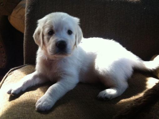 English Cream White Golden Retriever Puppies 1