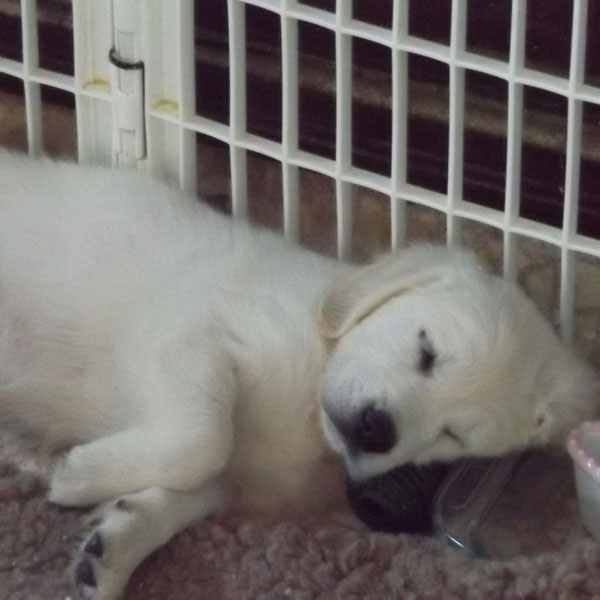 English Cream White Golden Retriever Puppies asleep