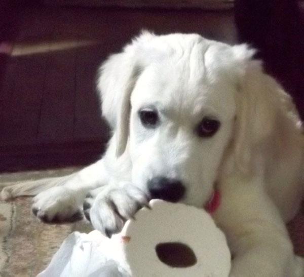 English Cream White Golden Retriever Puppies with toilet paper