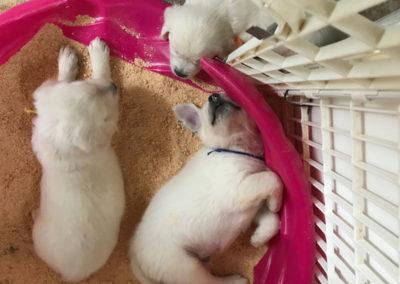 English Cream White Golden Retriever Puppies cute pic